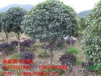 地径1-20cm移栽桂花树 八月桂 四季桂 丹桂小苗
