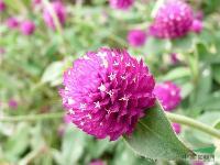 千日红种子,千日红种苗,别称:圆仔花,百日红,千金红,千年红