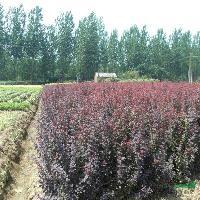 紫叶小波、小叶女贞、红王子锦带、红叶石楠、金叶莸