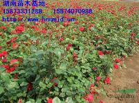 湖南花木 湖南良种月季品种 月季小苗 月季价格