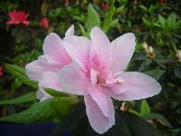 杜鹃 红花继木 桂花 红叶石楠 金叶女贞 茶花球