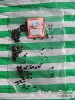 虎杖种子,虎杖种苗,苏北虎杖种子,别名:花斑竹、酸筒杆、酸桶