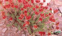 红景天种子,红景天种苗,红叶景天种子,红景天基地,沭阳红景天
