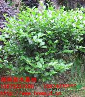 湖南茶梅-湖南茶梅球-2012年最新湖南绿化苗木-苗木价格