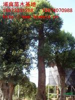湖南香樟樹 湖南大香樟 湖南*新香樟報價 香樟樹價格 移栽香樟