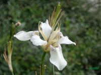 野鸢尾种子,野鸢尾种苗,别称:白花射干、宿根花卉