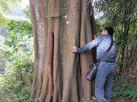 大榕树 野生 140公分 高20米