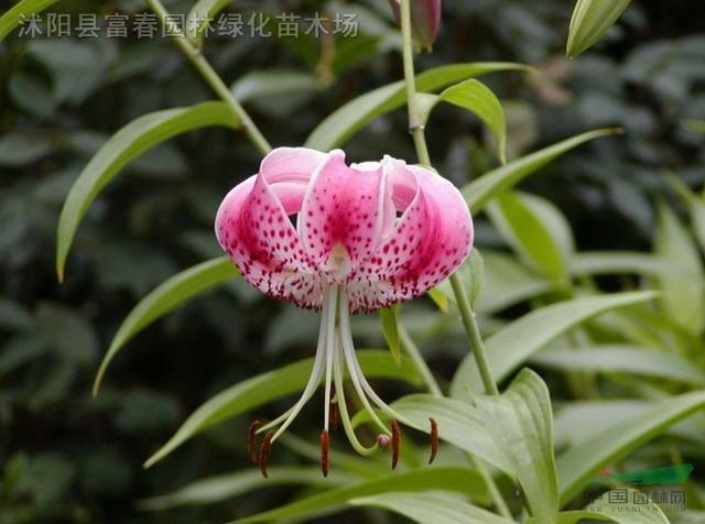卷丹种子,卷丹种苗,别称: 虎皮百合、倒垂莲、药百合、黄百合