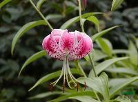 卷丹種子,卷丹種苗,別稱: 虎皮百合、倒垂蓮、藥百合、黃百合