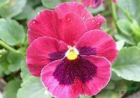 三色堇种子,三色堇种苗,别称: 三色堇菜、蝴蝶花、猫脸花