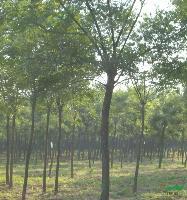 柳树6-15cm