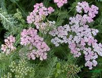 出口景观花卉种子,蓍草种子,洋蓍草,别名蚰蜒草、雨衣草