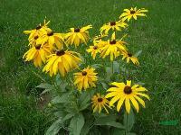 金光菊种子,金光菊,别称臭菊、黑眼菊,金光菊基地,金光菊种子