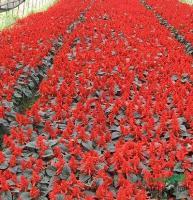 供应一串红、一串红价格、一串红苗圃苗
