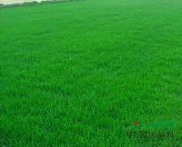 黑麦草混播果岭草,供应黑麦草混播果岭草