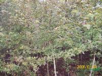 木荷、香樟、无患子、红叶石楠、红豆杉、桂花等苗木