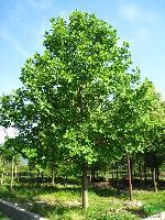 马褂木、水杉、湿地松等苗木