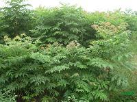 黃山欒樹小苗、水杉小苗、三角楓小苗