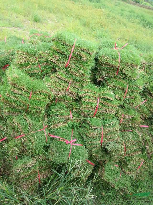 湖南郴州市马尼拉草皮草坪