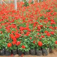 红叶石楠、金叶莸、红帽月季、八仙花、法国冬青