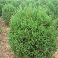 常绿绿化苗木-圆柏.翠柏蜀桧、地柏、沙地柏