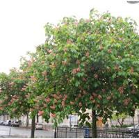 红花七叶树,白花七叶树