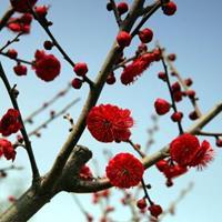 红梅、绿梅、珍珠梅、榉树、桂花、丹桂、无患子、泡桐、金合欢、