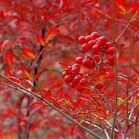 金葉蕕、紅天竹、南天竹、鋪地柏、爬地柏、沙地柏、紅瑞木、