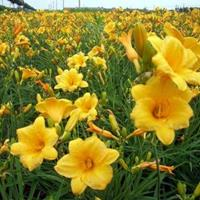 佛甲草、金娃娃萱草、红花绣线球、大花萱草、鸢尾、葱兰、白三叶