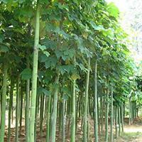 青桐、柿子樹、青楓、大葉女貞、紫葉李、意楊、苦楝、臭椿樹、