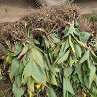 中叶麦冬草、阔叶麦冬草、美人蕉、马尼拉、四季青、丛生福禄考、