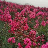 天鹅绒矮紫薇价格-天鹅绒矮紫薇图片-天鹅绒矮紫薇苗圃直销