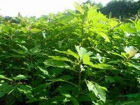 檫木种子,檫木,檫木种苗,别 名:檫树、桐梓树、黄揪树