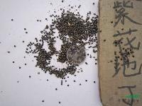 地丁种子,紫花地丁种子,别名:地丁草,紫花地丁,扁豆秧,小鸡
