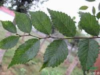 榉树种子,榉树种苗,榉树,别称:大叶榉、红榉树,青榉,白榉
