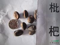 枇杷种子,枇杷苗,别称:芦橘,金丸,芦枝,枇杷直销基地沭阳