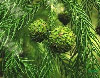 柳杉种子,柳杉,别称:长叶孔雀,江苏沭阳柳杉,柳杉基地