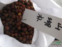 珊瑚朴种子,珊瑚朴,别名:棠壳子树,珊瑚朴基地,沭阳珊瑚朴