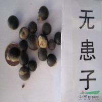 无患子种子,无患子,别称:黄金树,洗手果,苦患树,木患子