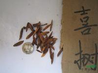 喜树种子,喜树,别称:旱莲、水栗、水桐树、天梓树、旱莲子