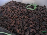 油麻藤种子,油麻藤,别名:牛马藤、常绿油麻藤、大血藤