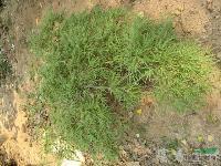 羽毛枫种子,羽毛枫,别名:细叶鸡爪槭,塔枫,羽毛枫基地