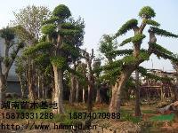 精品树-精品造型榆树-精品造型榆树价格-湖南苗木基地