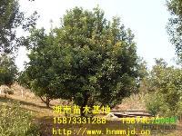 湖南杨梅树-湖南杨梅树价格-湖南大杨梅树价格-杨梅苗木