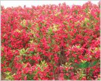 中国*大红王子锦带小苗生产基地 红王子锦带原产地