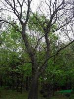 榉树,榉树价格,榉树苗木