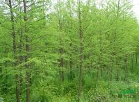 水杉,水杉苗木,水杉