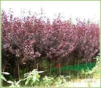 江苏地区供应紫叶李,紫叶李价格,自己苗圃苗,所以价格低