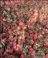 紅葉石楠10公分,紅葉石楠球,紅葉石楠小苗