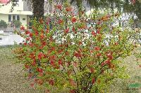 海棠,垂絲海棠,鐵桿海棠,紅寶石海棠